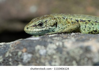 Close up of Viviparous Lizard (Zootoca vivipara)