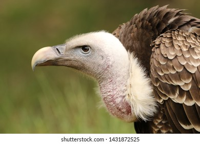 CLose up of a vulture