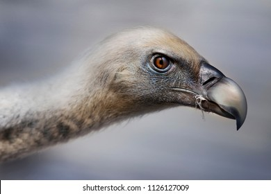 Close up of a vulture in a zoo