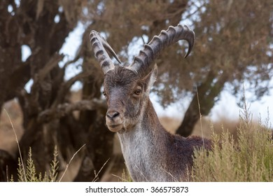 Close up of Walia Ibex looking to camera in Simian mountains, Ethiopia