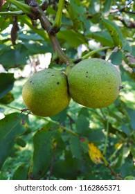 Close up walnut
