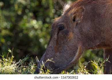 Close up of a warthog with his nose deep in the grass in the field