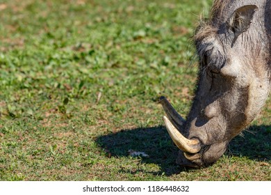 Close up of a warthog with straight tusks eating grass