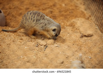 Close up of a watchful meerkat