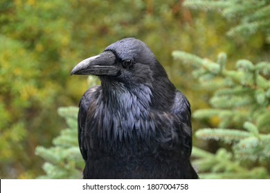 A Close Up of a Watchful Raven