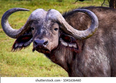 Close up of a water buffalo with large horns in Uganda, East Africa