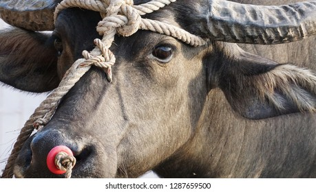 Close up of water buffalo looking at the camera with rope on the nose, head and horn, Phatthalung, Thailand.