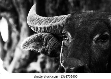 Close up of water buffalo portrait in black and white background. Headshot photography on face. Animal and mammal concept. Thai male buffalo on agriculture duty.