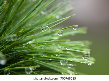 Close up water drop macro pine
