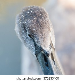 close up of water droplets on a Cygnets head
