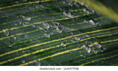 Close up of water droplets on a variegated green and yellow striped bird of paradise leaf