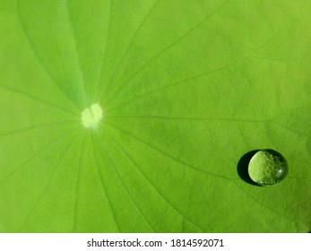 close up water drops on green lotus leaf texture