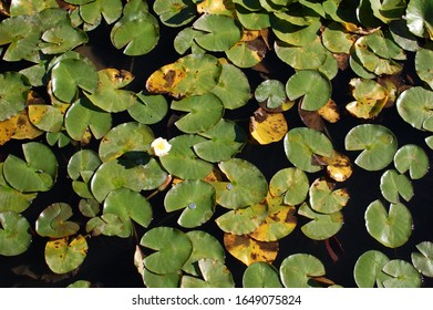 Close up of water lily leaves and flowers