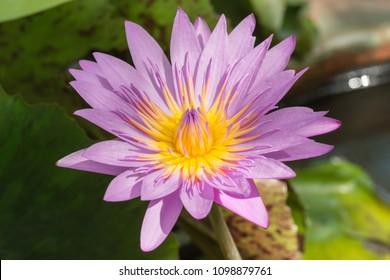 Close up Water Lily, Lotus