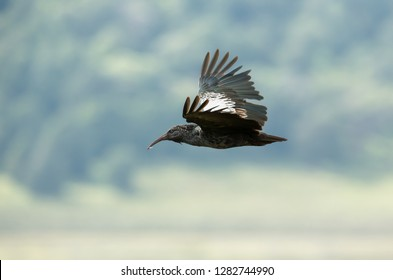 Close up of a wattled ibis in flight. It is endemic to the Ethiopian highlands and is found only in Ethiopia and Eritrea.