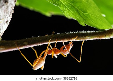 Close up of weaver ant (oecophylla smaragdina) crawling on branch.
