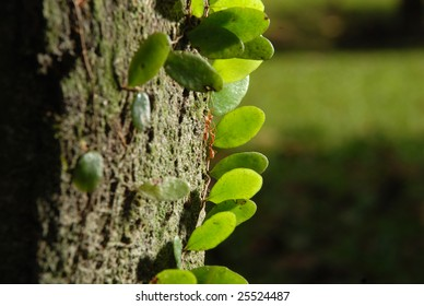 Close up of weaver ants (oecophylla smaragdina)