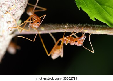 Close up of weaver ants (oecophylla smaragdina) crawling on branch.