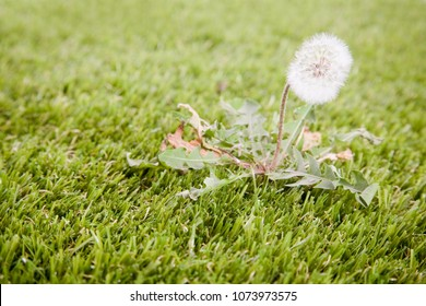 A close up of a weed growing in the lawn.