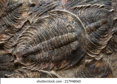 close up of a well preserved  trilobite fossil