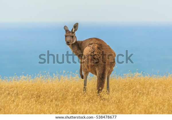 Close up of a Western grey kangaroo on a mountainside along Backstairs Passage in the Deep Creek Conservation Park on the Fleurieu Peninsula, South Australia against a blue sky