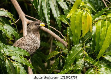 Close up of a Western grey plantain-eater (Crinifer piscator) sitting on a branch