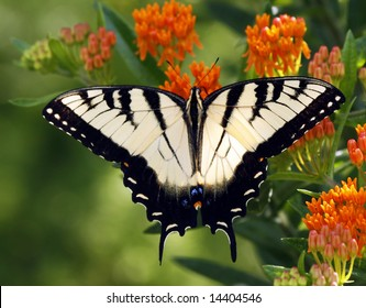 Close up of a Western Tiger Swallowtail butterfly