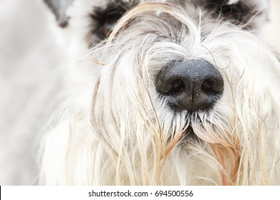 A close up of a wet dogs nose and nostrils. A white terriers nose, showing long hairs and fur moustache. Terriers are good sniffers.