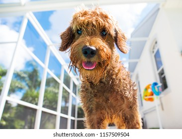 close up of wet miniature goldendoodle looking at camera in pool area in Lanai