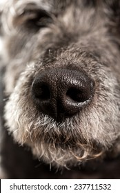 Close up of the wet nose of a dog showing the nostrils and texture of a pet.