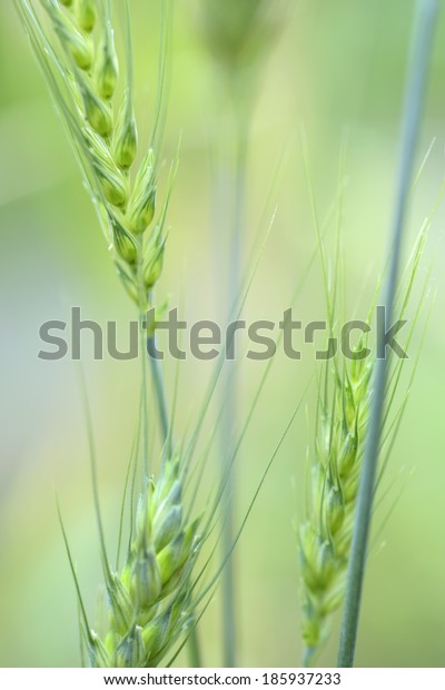 close up of  Wheat