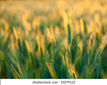 Close up with wheat ears at sunset