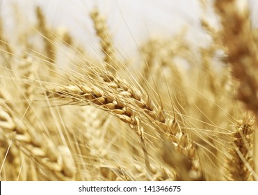 Close up of wheat head on wheat field