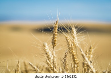 Close up of wheat ready to harvest