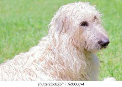 close up of a wheaten irish wolfhound