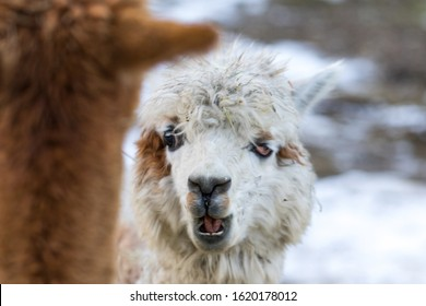 Close up of White Alpaca Looking Straight Ahead. Beautiful llama farm animal at petting zoo.
