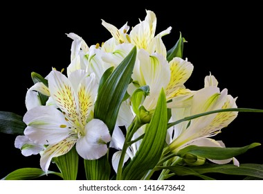 Close up of the white Alstroemeria, called the Peruvian lily or the Incas, is a genus of flowering plants in the Alstroemeriaceae family. Close up black background