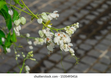 Close up of white antigonon leptopus flowers blooming in garden on blur concrete floor background. Selective focus.