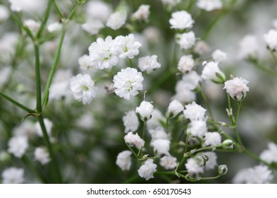 close up of white Baby's breath (gypsophilia paniculata) flower.