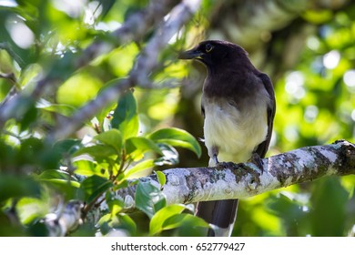 close up of a white bellied grey bird perched on a tree branch in Costa Rica