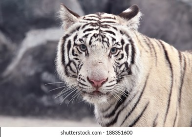 close up of white bengal tiger face