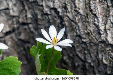 close up of white bloodroot wildflower with tree bark background in spring woods