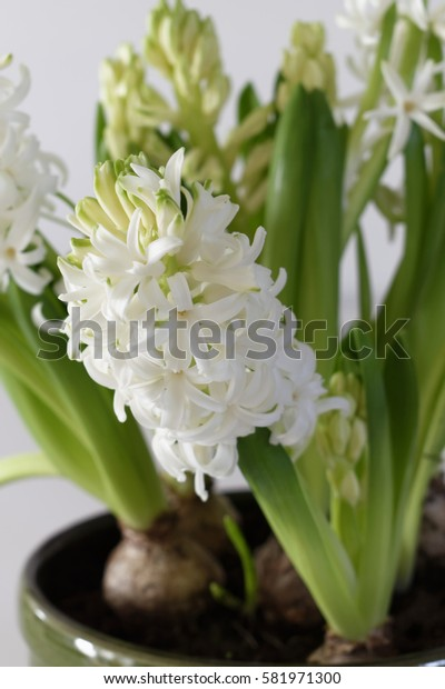 Close up of white blooming hyacinth flowers with bulbs in a flowerpot. Hyacinthus orientalis on white background.