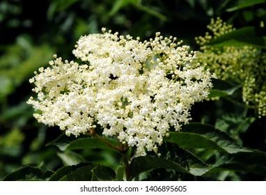 Close up of white blossom of (black) elder or elderberry (Sambucus nigra)