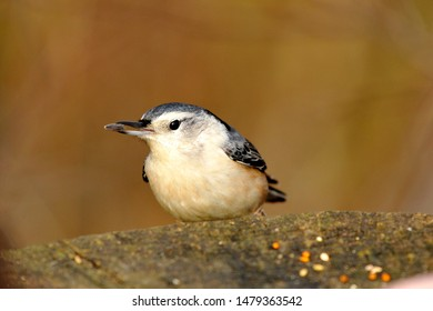 A close up of a white breasted nuthatch perched on a tree stump with a sunflower seed in its beak