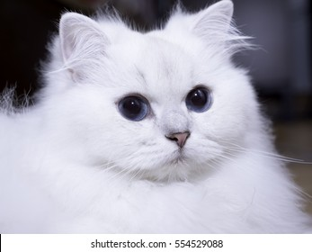 Close up of white British long hair with blue eye