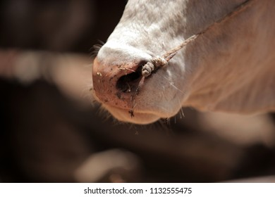 close up of a white bull nostrils, with a rope going through his skin, outdoors in the Gambia, Africa on a sunny day during dry season