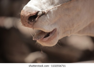 close up of a white bull nostrils, with a rope going through his skin, outdoors in the Gambia, Africa on a sunny day during dry season with tongue sticking out