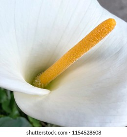 Close up of white Calla lily in garden setting