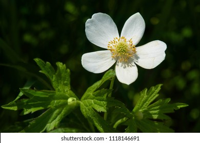 Close up of a white Canada Anemone flower. Also called Meadow Anemone or Crowfoot. Carden Alvar Provincial Park, Kawartha Lakes, Ontario, Canada.